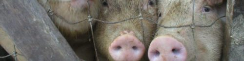 cropped-piggies1.jpg