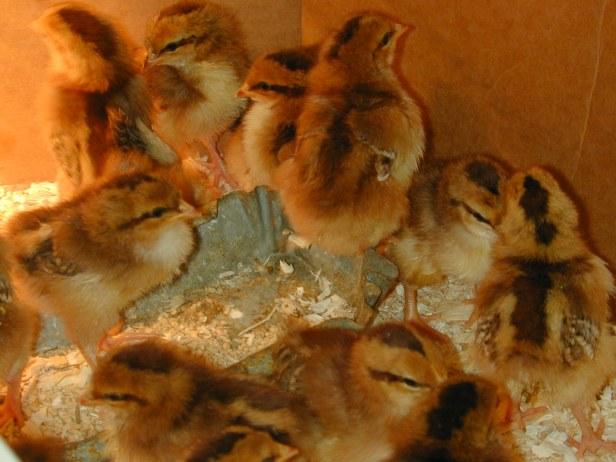 chicks1week