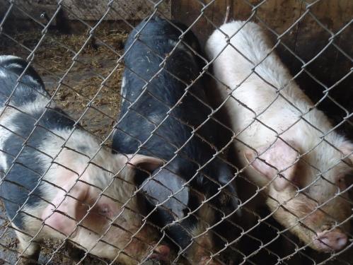he home pigs