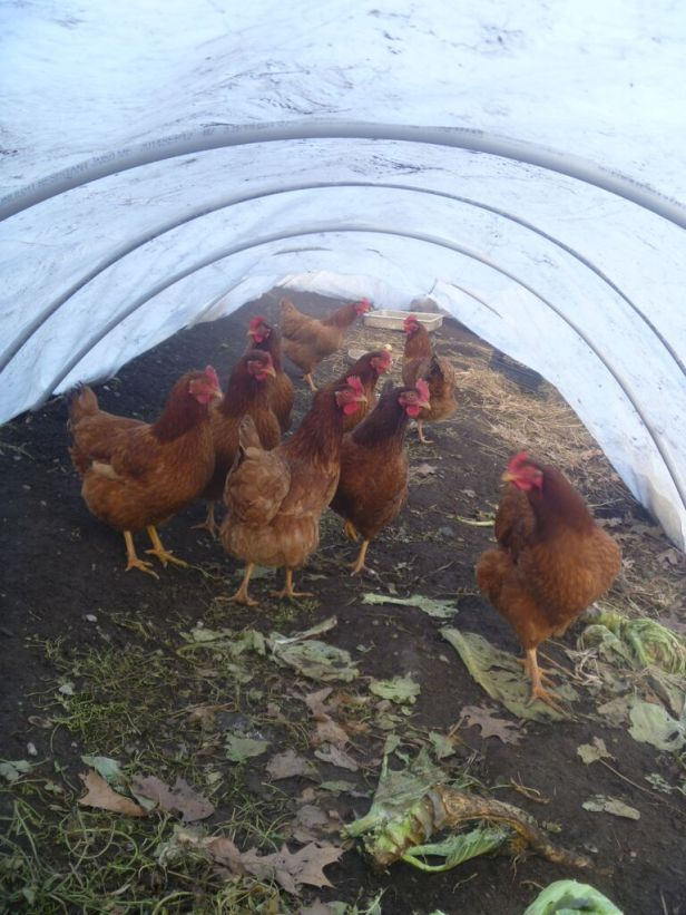 chickens in low tunnel