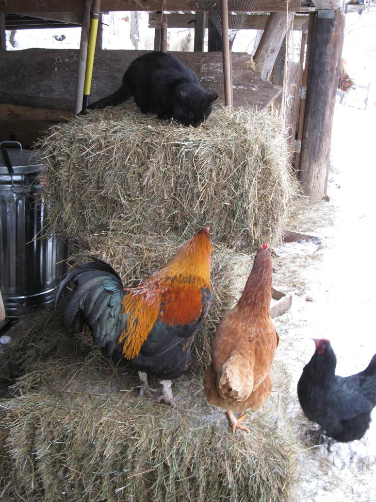 chickens with cat