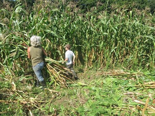corn harvest 2018