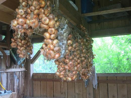 onion crop 2018